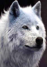 Corwen Silverwolf 01